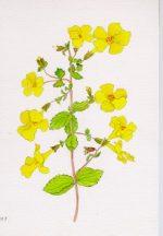 Mimulus Plant